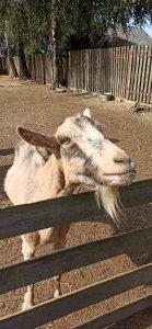 Koza w zagrodzie
