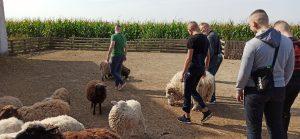 Wychowankowie w zagrodzie z owcami